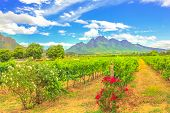 Rows Of Grapes In Picturesque Stellenbosch, Near Cape Town, Wine Region With Thelema Mountain On Bac poster