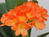 Orange Clivia (Clivia Miniata)