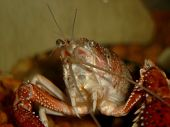 picture of crustations  - close up photo of a live crawfish in a natural environment - JPG