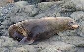 Fur Seal, Kaikoura Coast