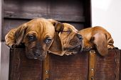 Puppies amstaff,dachshund