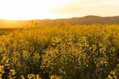 Beautiful Contre Jour Sunset Light In A Spring Evening With Colorful Bright Yellow Rapeseed (brassic poster
