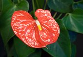 Red Flamingo Flower