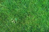 Weed On Lawn. Removing Weeds From Garden Concept, Green Grass Background poster