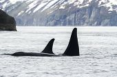 Two Killer Whales (orca), Kamchatka Peninsula, Russia. poster