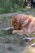 Cute Yarmouth Toller Dog Sniffing The Ground While Resting. poster