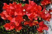 Bougainvilla Bloom Flowers
