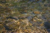 foto of freshwater fish  - Magazines posters stock people fishermen sports displays and many more - JPG