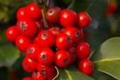 Holly Berries 05