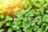 Leaf Mint Background / Peppermint Leaf Green Plants In Garden Herbs And Food Thai - Mint Leaves Plan poster