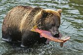 Bear Fishing. Pink Salmon Caught On Breakfast. Brown Bear (ursus Arctos) Is A Predatory Mammal Of Th poster
