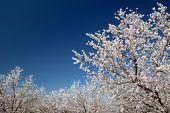 Flores de almendras blancas