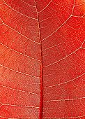 Sunlight Goes Through Red Leaf