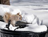 A Beige Squirrel on a garbage