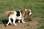 pic of bloodhound  - ok - JPG