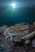 blue starfish on hard coral