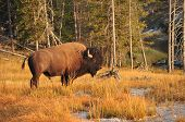 A Bison grazing in the spring area in Yellowstone