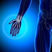 Mão / carpos / metacarpos / falanges - anatomia ossos