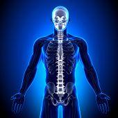 Coluna vertebral / vértebras - anatomia ossos