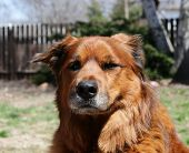 Large chow mix mutt looking serious poster