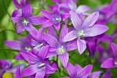 Meadow roxo Campanula Bell flores