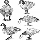 Sketches Of Geese.eps