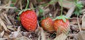 Erdbeeren am Rebstock