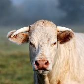 image of charolais  - Portrait of young white cow on green meadow - JPG