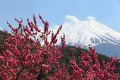 picture of mount fuji  - Cherry Blossoms and Mt - JPG