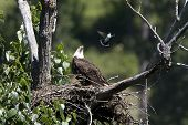 Eagle Looks At Swooping Kingbird.
