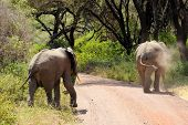 African elephants crossing