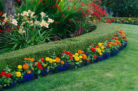 picture of zinnias  - A beautiful garden display featuring a curved boxwood hedge surrounded by daylilies - JPG