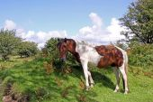 Wild horse in natural environment on Bodmin Moor, Cornwall, UK