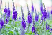 picture of royal botanic gardens  - Royal Candles Veronica - JPG