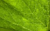 Extreme Abstract Closeup Of Elephant Leaf Plant