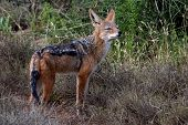 stock photo of jackal  - Portrait of a Black Backed Jackal with large ears - JPG