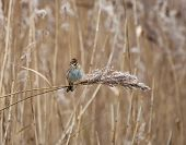 Reed Bunting On Reed