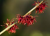 Red Witch Hazel Flowers