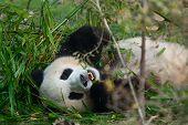 Hungry Giant Panda Bear Eating Bamboo