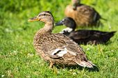 Brown Wild Duck (anas Platyrhynchos) On Green Grass