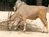 Standing Brown Common Eland With Spiral Horns