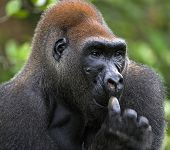 stock photo of lowlands  - Portrait of Silverback  - JPG