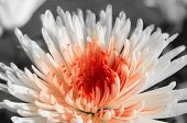 picture of chrysanthemum  - White-red chrysanthemum against a dark background close up