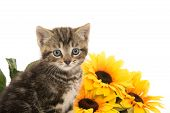stock photo of yellow tabby  - Cute baby tabby kitten with yellow flowers on white background - JPG