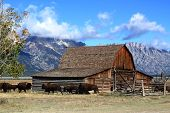 Bison And Mormon Row Barn In The Grand Tetons