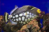 Balistoides Conspicillum (Clown Triggerfish)