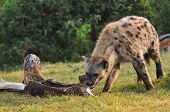 foto of jackal  - Spotted Hyena and a Jackal scavenging on a elephant leg jackal scavenging on