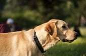 Yellow labrador dog closeup