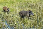 pic of tapir  - Lowland or South American tapir  - JPG