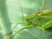 picture of locusts  - The pfoto of  Green locust taken closeup - JPG